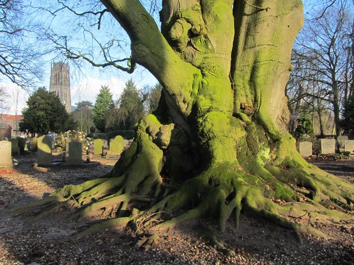 De reusachtige rode beuk op de begraafplaats Bossche Poort in Zaltbommel is door De Bomenstichting aangewezen als een van de mooiste bomen van de provincie Gelderland.