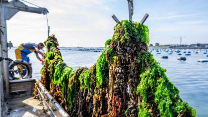 Mosselen wachten niet op heropening restaurants: eerste mosselen geoogst in Zeeland