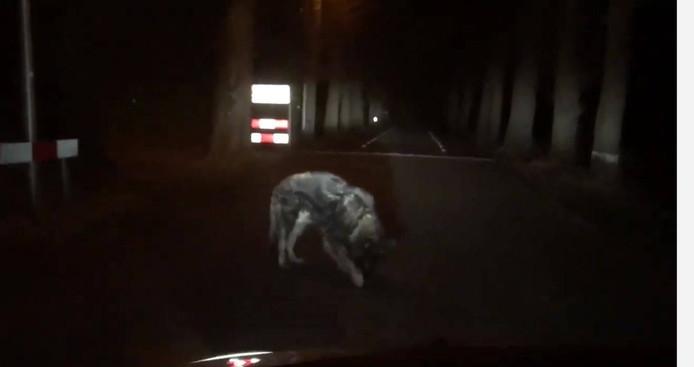 Wolf of hond op de Schoonhetenseweg?