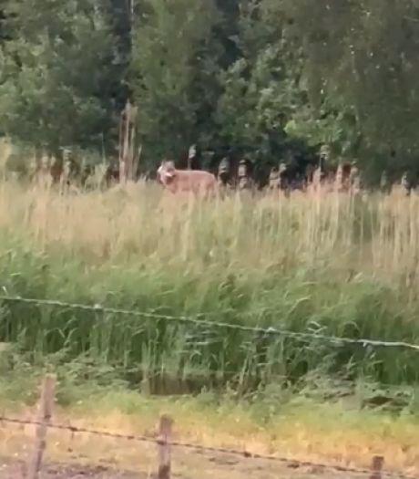 Wolf opnieuw vastgelegd op beeld, ditmaal in buitengebied Vlijmen
