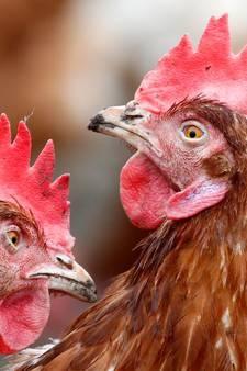 Bijna 200 kippenbedrijven op slot om bloedluismiddel