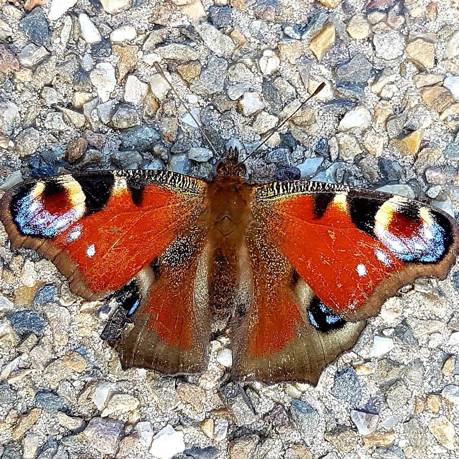 Een bijzondere vlinder in Ede.