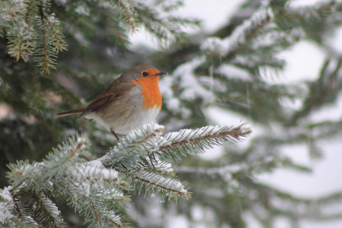 Dit roodborstje in Lintelo vermaakte zich prima in de sneeuw.