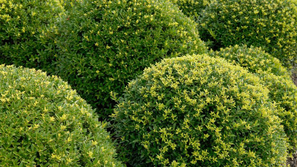 Nederlander heeft miljoenen in handen met een simpel plantje dat buxus vervangt
