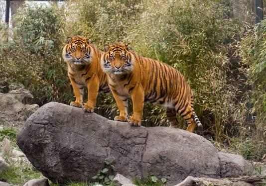 Merel trok richting Blijdorp om de tijgers te fotograferen