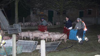 Varkenstransport in gracht beland in Staden: trucker gewond, 50-tal dieren komt om