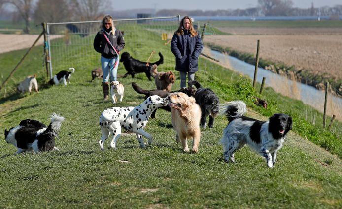 In 's-Gravendeel worden de honden onder meer op de dijken uitgelaten door Hondenuitlaatservice Streef van Sandra Streefkerk.