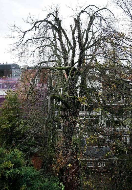 De witte paardenkastanje toen die nog overeind stond in de tuin van het Anne Frank Huis in Amsterdam.