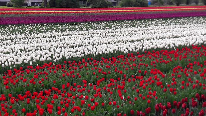 Overal tulpen, in allerlei kleuren en maten.