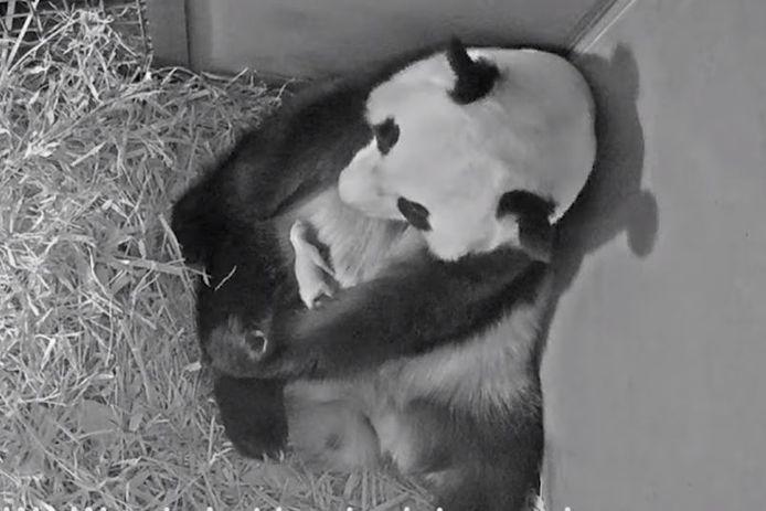 Pandamoeder Wu Wen met haar jong.