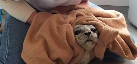 Ook bij uitpuffende zeehonden: afstand houden