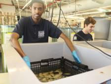 New York kweekt miljoenen oesters om kust te beschermen en water te zuiveren