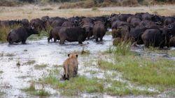 Honderden buffels verdrinken op de vlucht voor leeuwen in Namibië