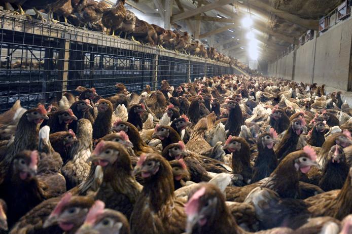 Kippenfarm voor leghennen.