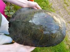 Reusachtige schildpad uit Westervoort gewond aan buik, nog geen tips over eigenaar