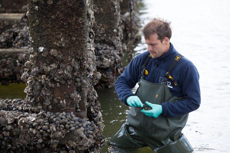 Een onderzoeker voert tests uit aan de golfbreker in Oostende (Archiefbeeld ter illustratie).