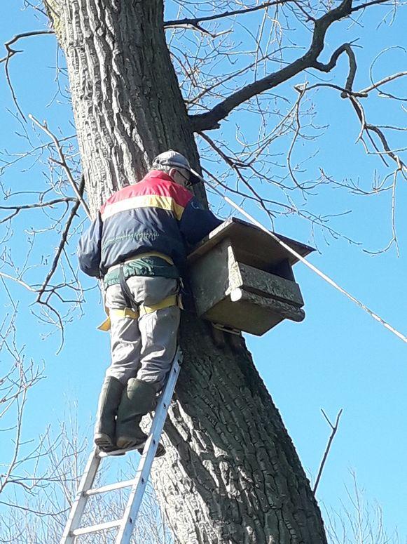 Medewerkers van Natuurpunt plaatsten nieuwe nestkasten voor de Klein-Brabantse torenvalken.