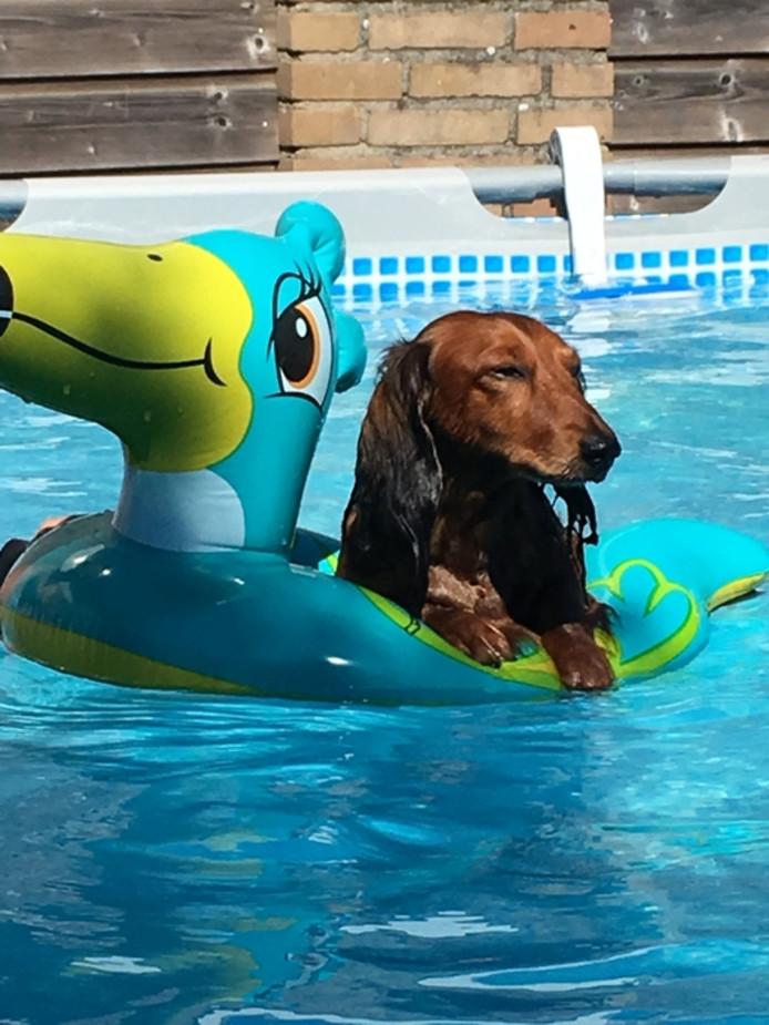 Teckel Jeske is lekker aan het chillen in het zwembad van zijn baasjes.