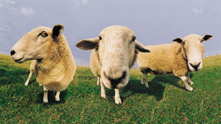 seks met schapen video Mobiel u Porn