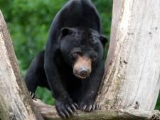 Burgers' Zoo hoopt dat nieuwe Schotse beer beter fokt dan vertrokken voorganger