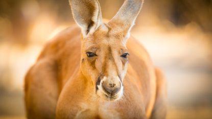 Australiër krijgt vijf maanden cel voor brutale moord op kangoeroe