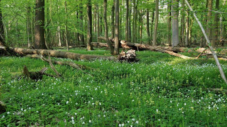 Bomen moeten niet alleen oud kunnen worden, maar ook aftakelen en verrotten. Beeld Patrick Jansen