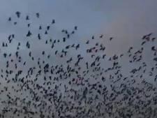 Duizenden ganzen vliegen over de polder