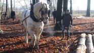 Provincie geeft dertig Brabantse trekpaarden opleiding boomslepen