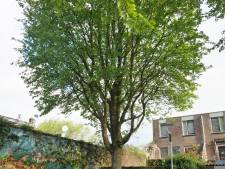 Bodehof-boom mag (voorlopig) blijven: 'Compliment voor de gemeente'
