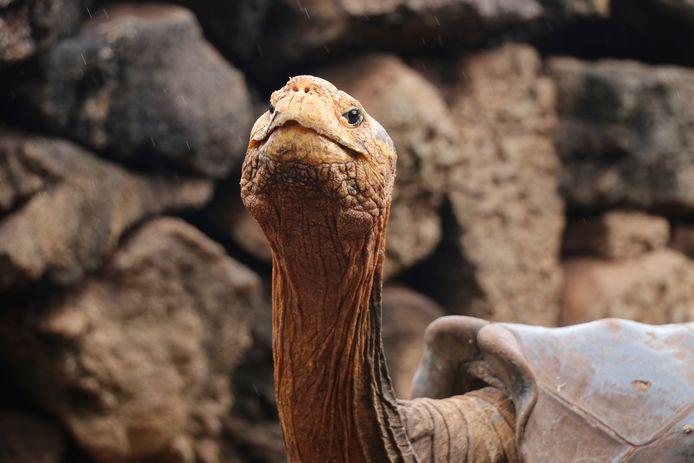 La tortue géante Diego