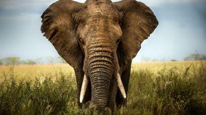 Het 'zombiegen' dat olifanten beschermt tegen kanker