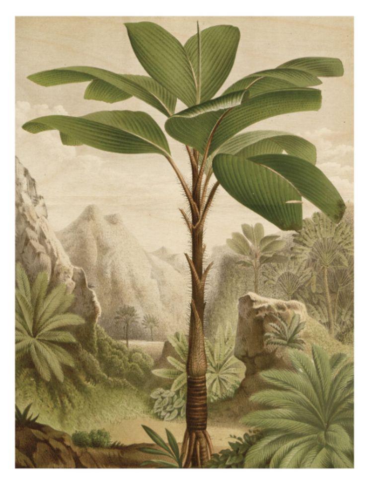 Poster van bananenboom op hout, 45 x 60 cm, € 90 KEK Amsterdam  Beeld packshot