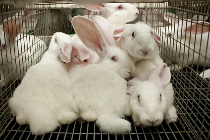 Stichting Konijn in Nood neemt vooral de commerciële fokkerij van konijnen op de korrel, zoals dit bedrijf in het Noord-Brabantse Reusel.