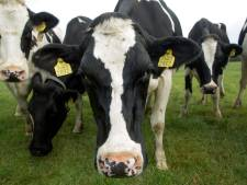 VVD zet coalitie op scherp: geen koe of varken minder