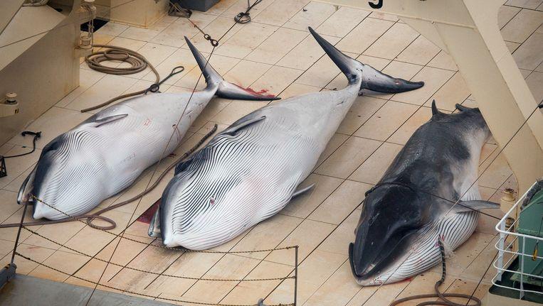 Drie gevangen walvissen op een Japanse boot in de Zuidelijke Oceaan. Beeld AP
