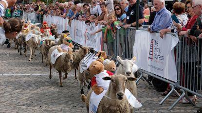 Honderdtwintig schapen lopen koers met jockey op hun rug