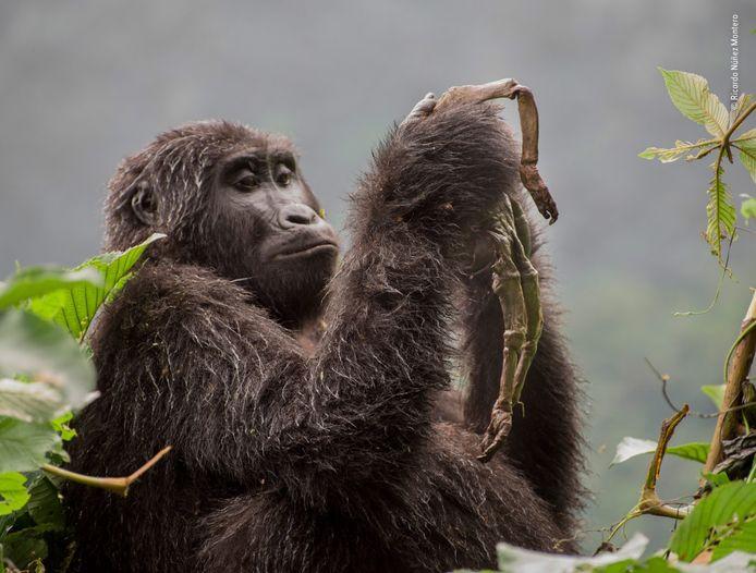Kuhirwa, een jonge vrouwelijke berggorilla, wilde haar dode baby niet opgeven. Aanvankelijk knuffelde ze en verzorgde ze het kleine lijk, terwijl ze het op de rug droeg zoals de andere moeders. Weken later begon ze te eten wat er van over was gebleven.
