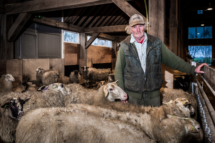 Schaapsherder Huug Hagoort uit Ottoland te midden van zijn schapen in de schaapskooi.