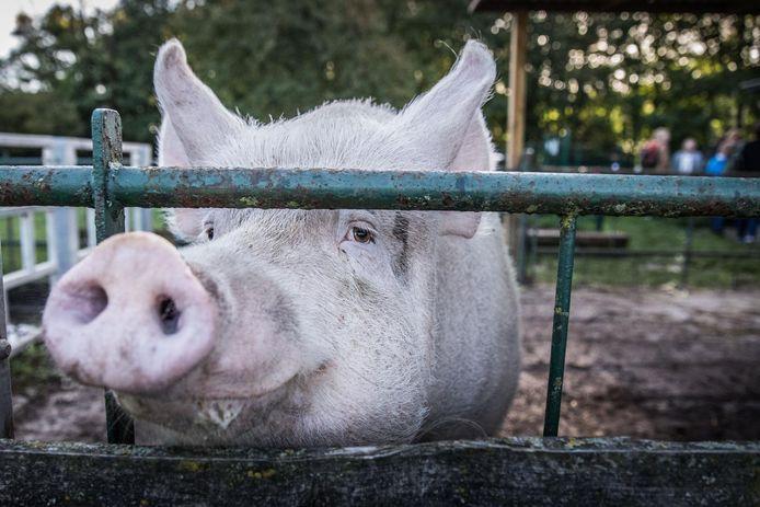 Voor alle duidelijkheid: dit is niet het varken dat in de Grote Nete gevonden werd