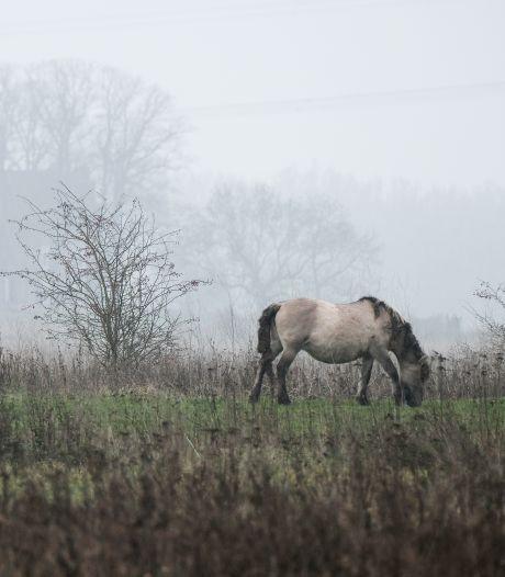 Grazers moeten weg uit vervuilde uiterwaarden, stelt SP: 'Onverantwoord voor de dieren'
