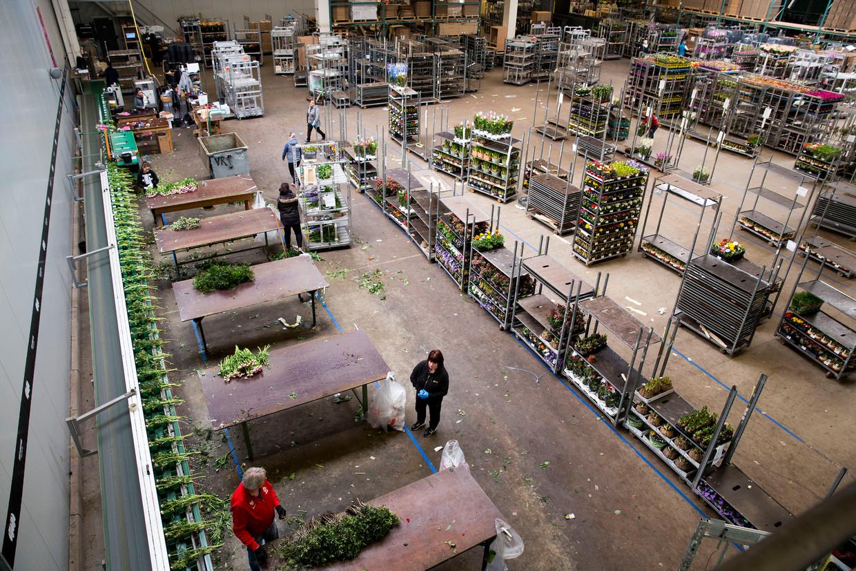 Bij de bloemenhandel is het deze dagen bijzonder rustig, zoals hier bij bloemenexporteur Verdel in Westland.  Beeld Arie Kievit