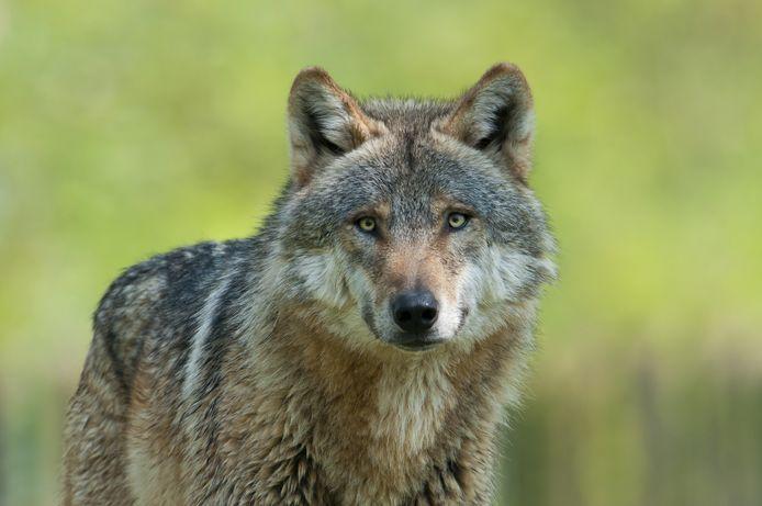 Grijze wolf. Foto ter illustratie.