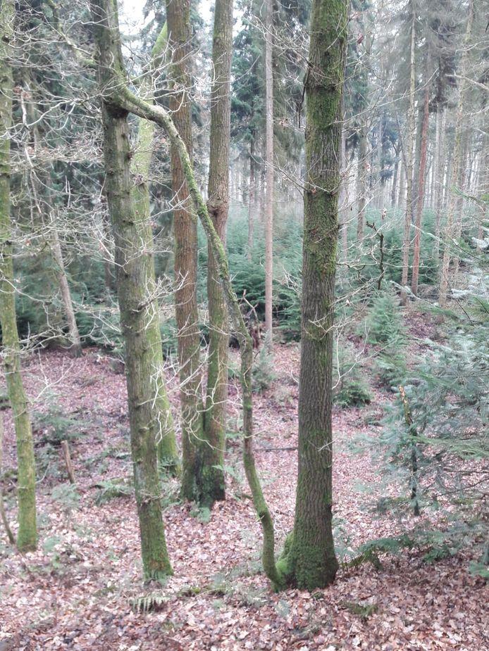 Tak verbindt twee bomen, curiosum in de bossen bij Esbeek