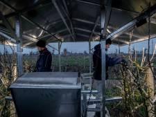 Fruittelers zijn ook nu al druk: wie straks wil oogsten moet nu snoeien