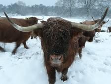 Zes 'vriendelijke' Schotse Hooglanders in bossen van Arriën