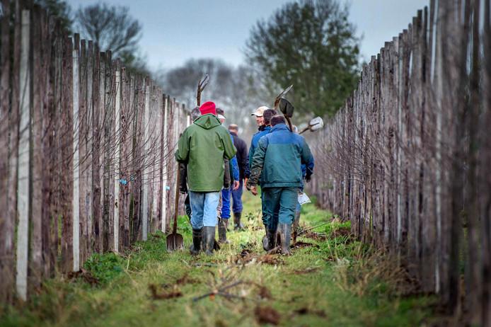 Circa 25 fruittelers hielpen hun collega Frans van Hulst in Altforst met planten van nieuwe bomen toen er bij hem duizenden boompjes waren vernield.