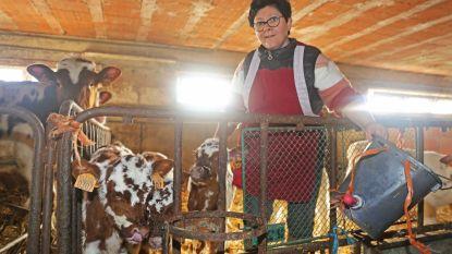 """VIDEO. Koe brengt drieling ter wereld: """"Volgens veearts is kans op drie gezonde kalfjes maar 1 op 8 miljoen"""""""
