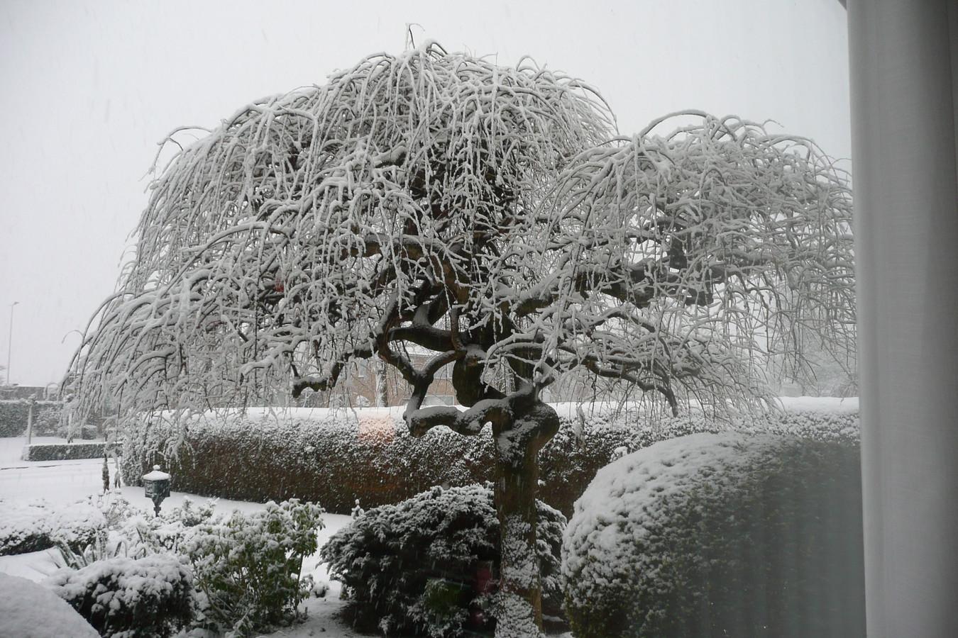 Prachtig plaatje! Een besneeuwde treurhoningboom in de Dorpsstraat in Loosbroek.