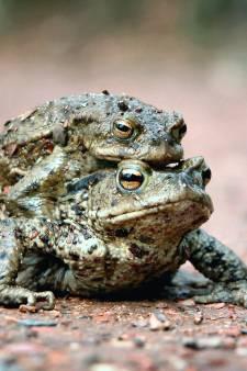 Dierenbescherming heeft hulp nodig bij overzetten van padden