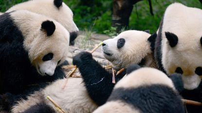 Chinezen ontwerpen app om panda's te herkennen